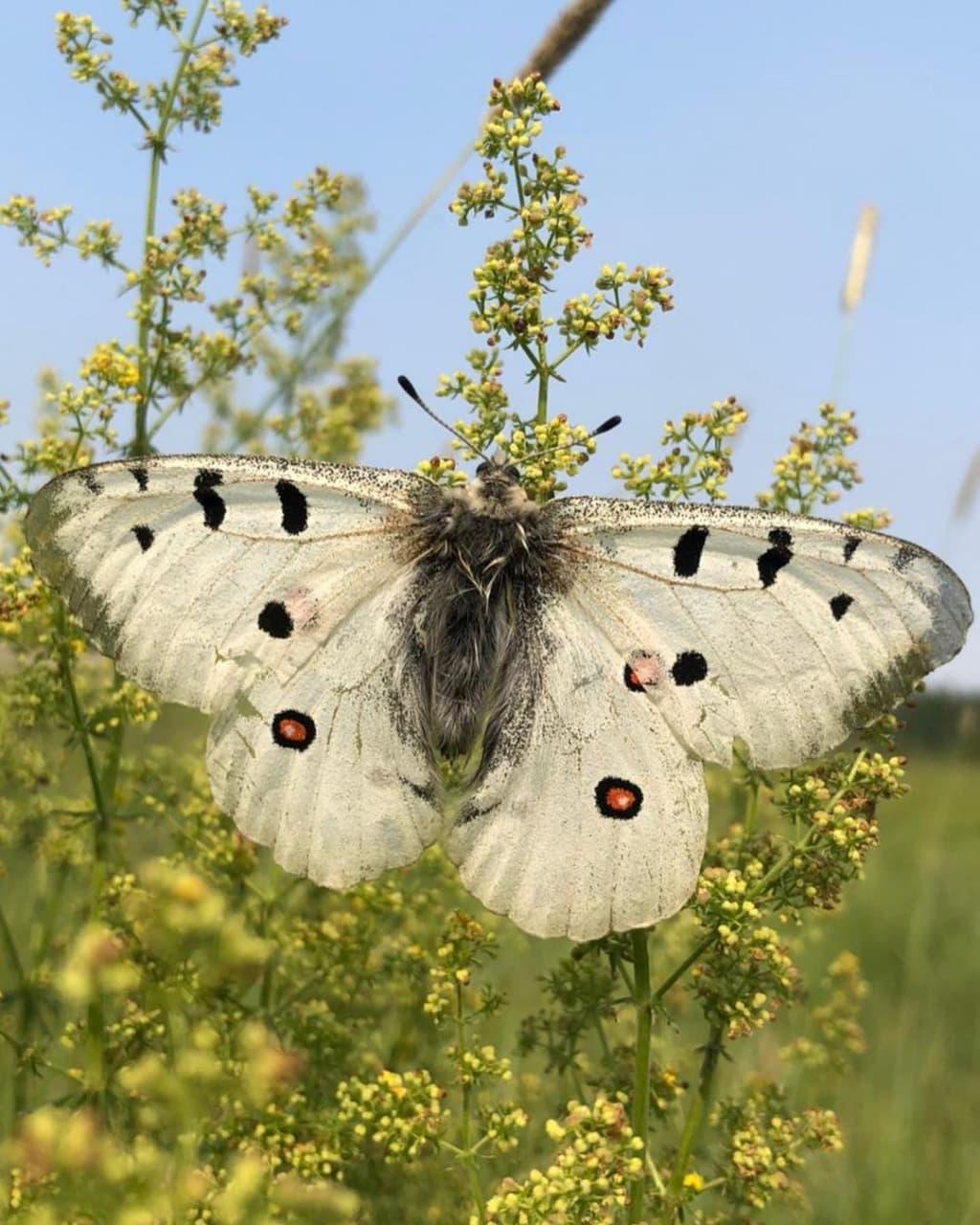 Уникальную бабочку Аполлон заметили в Горном районе Якутии