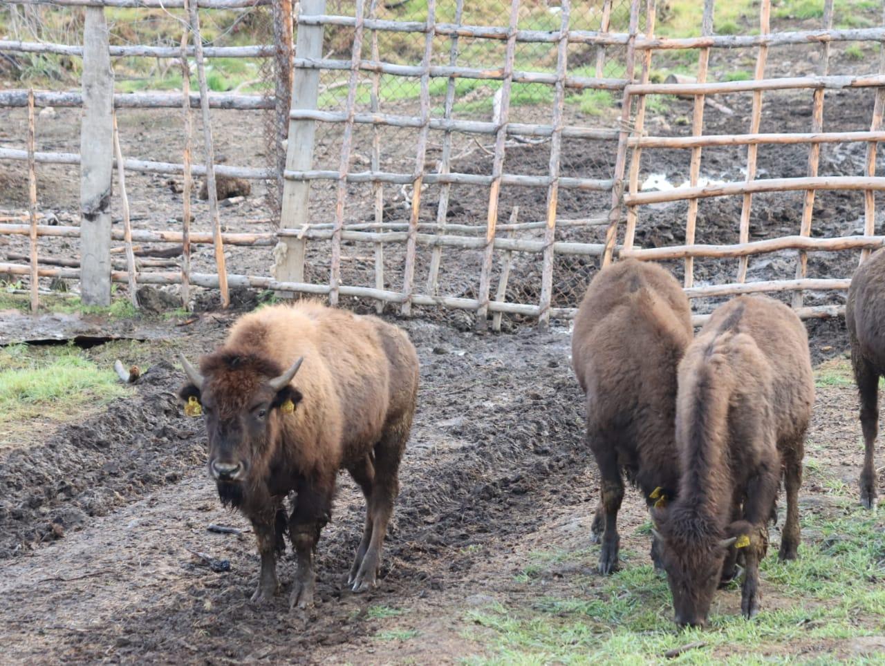 Двенадцать бизонов доставили в Плейстоценовый парк Якутии