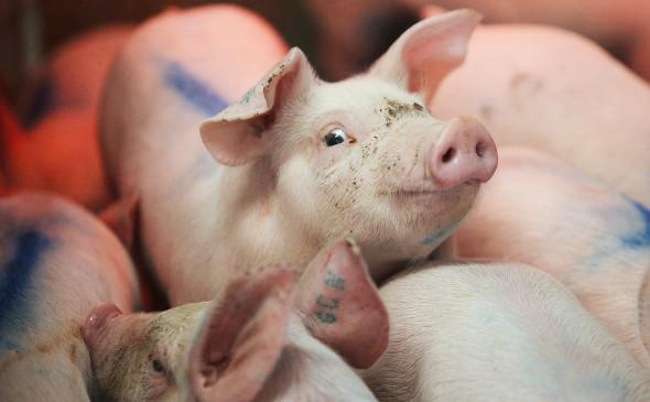 Якутян предупредили об угрозе завоза африканской чумы свиней из соседних регионов