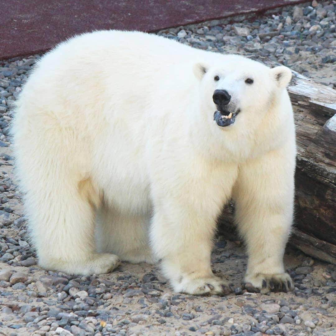 Вольер для жениха белой медведицы Умки-Аяны построили в Нижегородском зоопарке