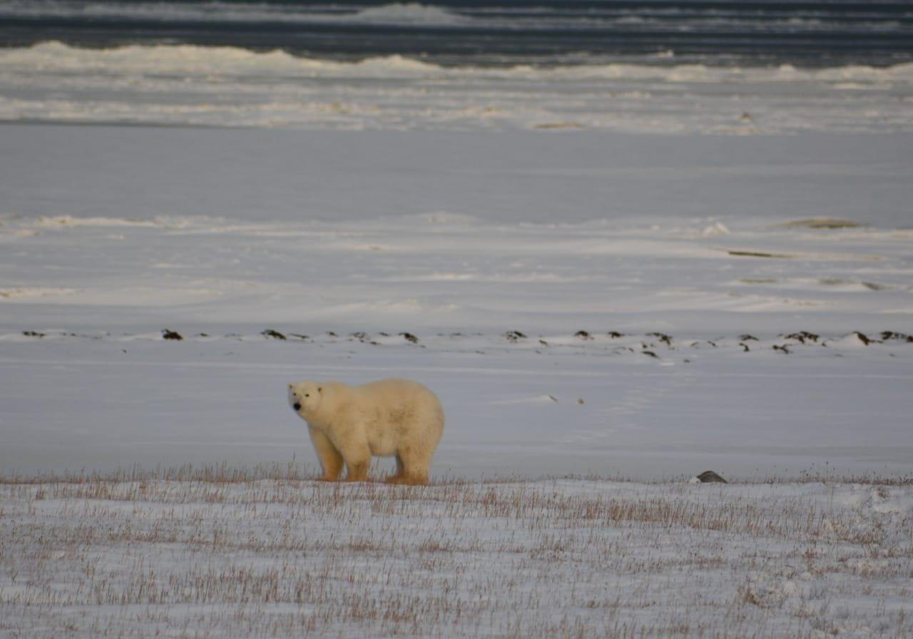 Осенний мониторинг белых медведей проходит в Нижнеколымском районе Якутии