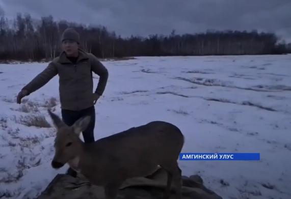 Якутяне спасли косулю, провалившуюся под лед в реке Амге